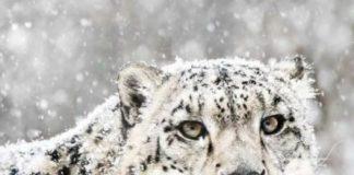 Snow Leopard Trek